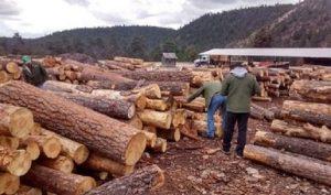 Combate PROFEPA tala clandestina para evitar impunidad en el tráfico de madera