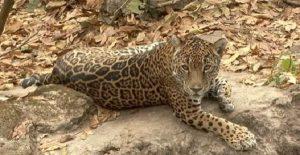Aumenta la población de jaguar en México
