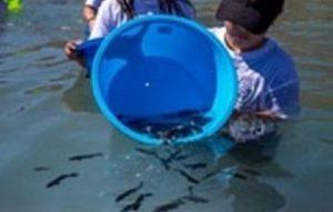 Liberan miles de crías de totoaba para repoblar el Mar de Cortés