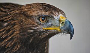 México alberga 22 águilas, especies rapaces diurnas poco abundantes y raras