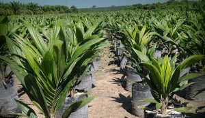 Impulsara SAGARPA viveros de palma en sector social de Campeche