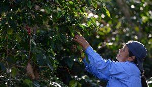 Cafetaleros demandan apoyo complementario para mantener la producción
