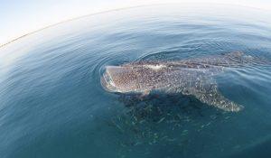 Apoya SEMARNAT campaña para proteger al Tiburón Ballena