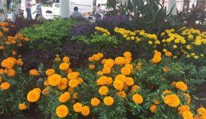 Plantan flores de cempasúchil en Zócalo de Veracruz