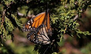 Disminuye degradación forestal en reserva de la Mariposa Monarca