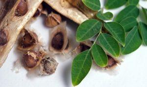 Moringa, alternativa para proceso de potabilización de aguas