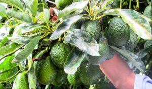 Desarrolla la SAGARPA modelos óptimos de maduración en cultivo de aguacate