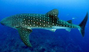 Bahía de La paz, nueva área de refugio para el tiburón ballena