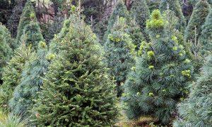 Tu árbol de navidad natural puede seguir dando vida,  llévalo a un centro de acopio