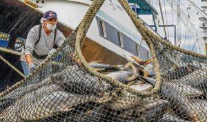 Dará inicio la temporada de captura de atún en el Océano Pacífico
