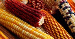 Granos básicos: alimentación, agricultura y comercio