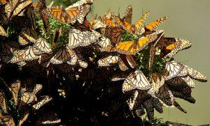 La mariposa Monarca está en México, conócela