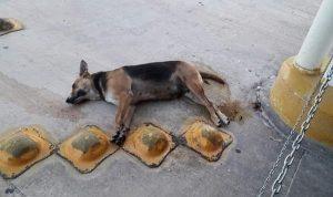 Envenenan en Campeche a más de 40 perros