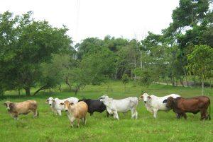Con crédito a la palaba ganaderos de Campeche podrán aumentar su producción