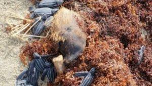 Niega gobierno  de Quintana Roo muerte masiva de tortugas por sargazo