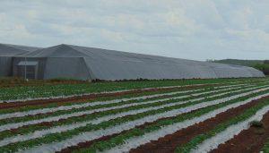 Durante el ciclo agrícola 2019-2020 la Compañía Agrícola Valle del Sur, proyecta 46,000 toneladas de Hortalizas a los Estados Unidos