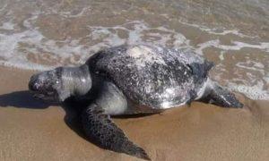 Marea roja causa mortandad de tortugas en Oaxaca