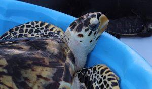 Tortugas marinas vuelven al mar luego de seis meses de rehabilitación en Progreso
