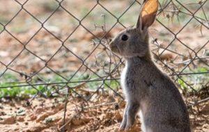 Declaran al conejo en peligro de extinción