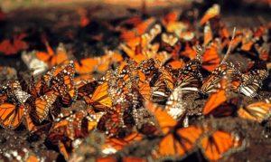 Persiste tala en reserva de mariposa monarca