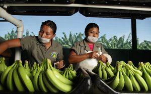 Plátano: la fruta tropical más cultivada en México