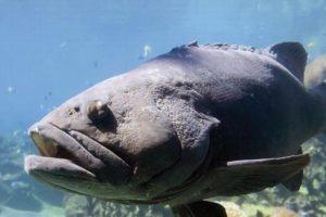 Inicia veda temporal para captura de pez mero en el Golfo de México