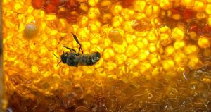 La miel mexicana va endulzando el mundo