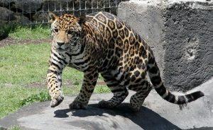 Protección al felino más grande de América, el jaguar