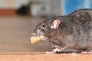 Alertan por plaga de ratas ante poca afluencia en calles de CDMX
