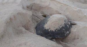 Continúan lucha para salvar santuario de la tortuga marina de Xcacel