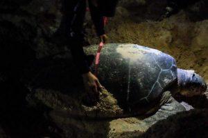Fortalecen en Puerto Morelos acciones del programa de conservación de la tortuga marina