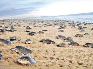 Lluvias favorecen el arribo de tortugas marinas a Campeche