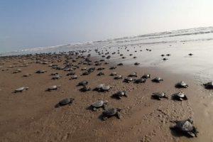Liberan más de 12 mil tortugas en Veracruz