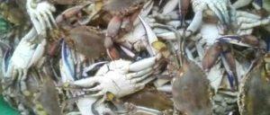Activación de pesca de jaiba contribuirá a que los pescadores cuenten con recursos durante el periodo de contingencia: Conapesca