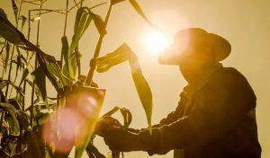 Siembra de maíz en zonas marginadas, alimento seguro para todos
