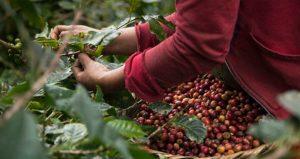 El café una producción en manos sabias