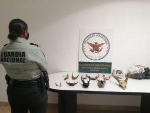 Decomisan en el Aeropuerto de Mérida huesos de venado cola blanca