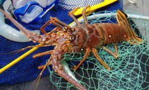 Inicia este 1 de julio la captura de langosta en el Golfo de México y mar Caribe