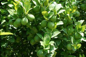Si la vida te da limones… ojalá que sean de la variedad COLIMEX