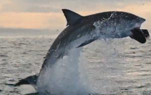 Captan sorprendente salto de un tiburón blanco
