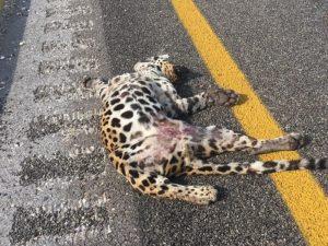"""Atropellan a cachorro jaguar en el Periférico """"Pablo García y Montilla"""" en Campeche"""