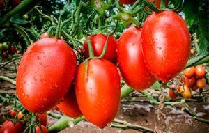 jitomate, hortaliza mexicana de importancia mundial