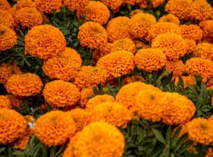 Cempasúchil, flor de vida, flor de muertos