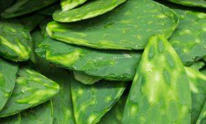 El nopal, riqueza alimentaria que debe protegerse
