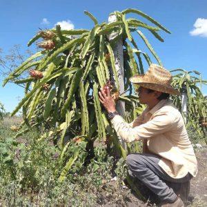Oscar Cholula, productor de pitahaya, es nuestro #HéroeDeLaAlimentación