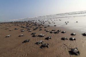 Piden promover educación ambiental para la conservación de las tortugas