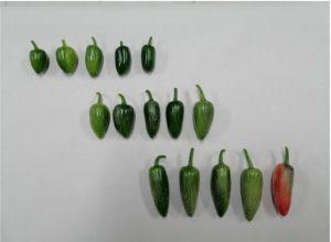 La investigación al servicio de las mejoras en el campo como es el cultivo de chile jalapeño